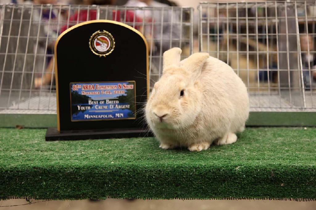 Кремовый Серебристый (Creme d'Argent) кролик Tn_1200_IMG_0359.jpg