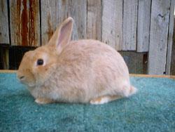Кремовый Серебристый (Creme d'Argent) кролик C12931709d0b