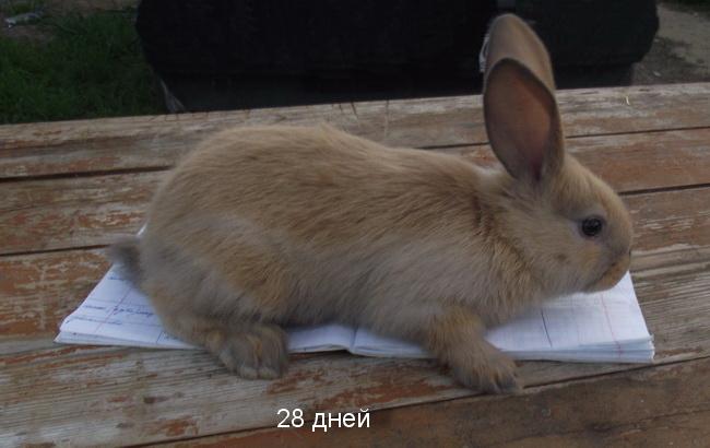 Кремовый Серебристый (Creme d'Argent) кролик DSCF3072