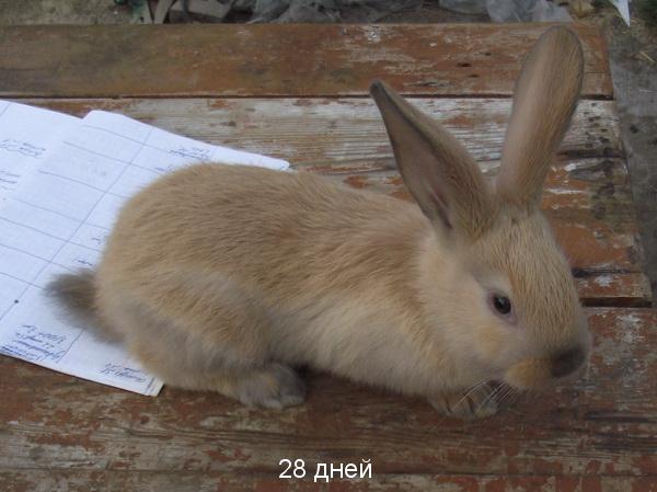 Кремовый Серебристый (Creme d'Argent) кролик DSCF3080